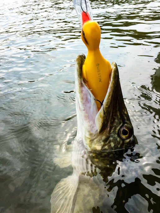 Danny the Duck Catches Fish 1